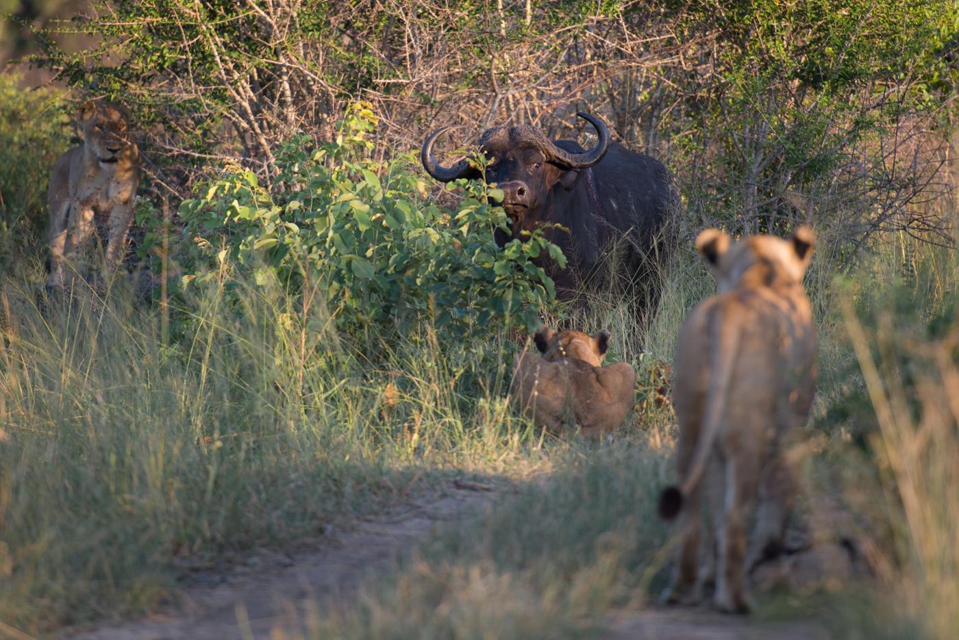 tsalala, buffalo hunt, feb 15, SC
