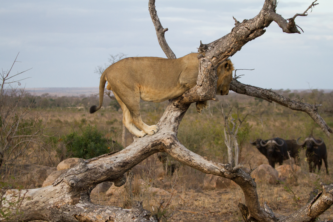 Mhangeni Buffalo 2-5