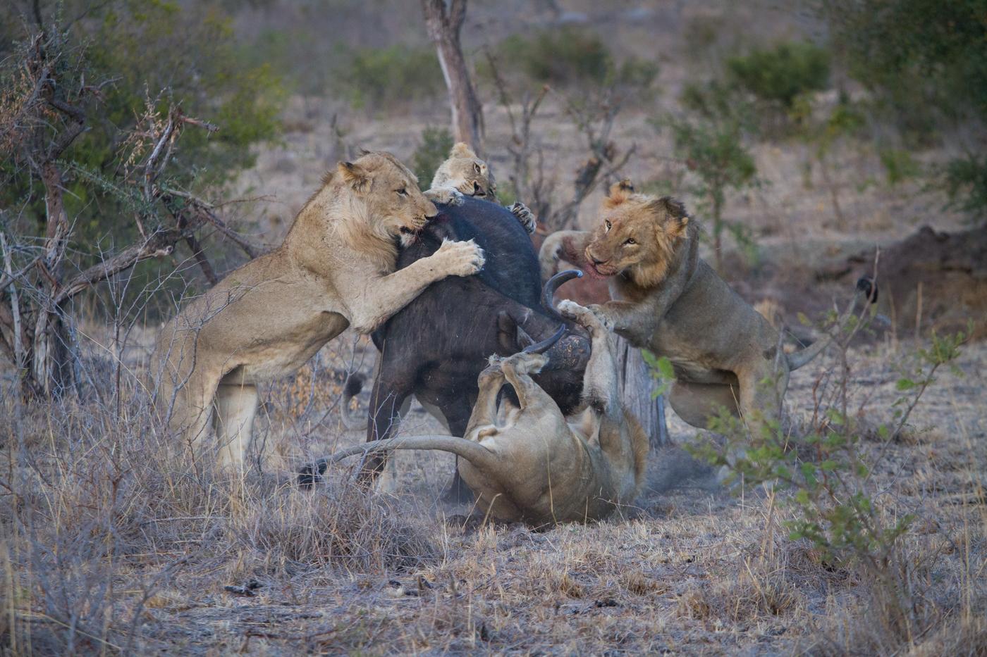 Mhangeni Buffalo-4