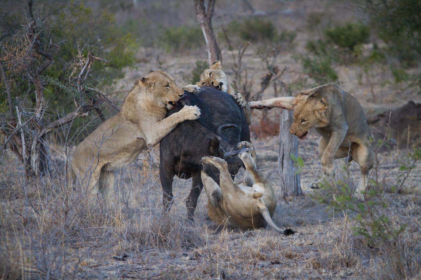 Mhangeni Buffalo-3