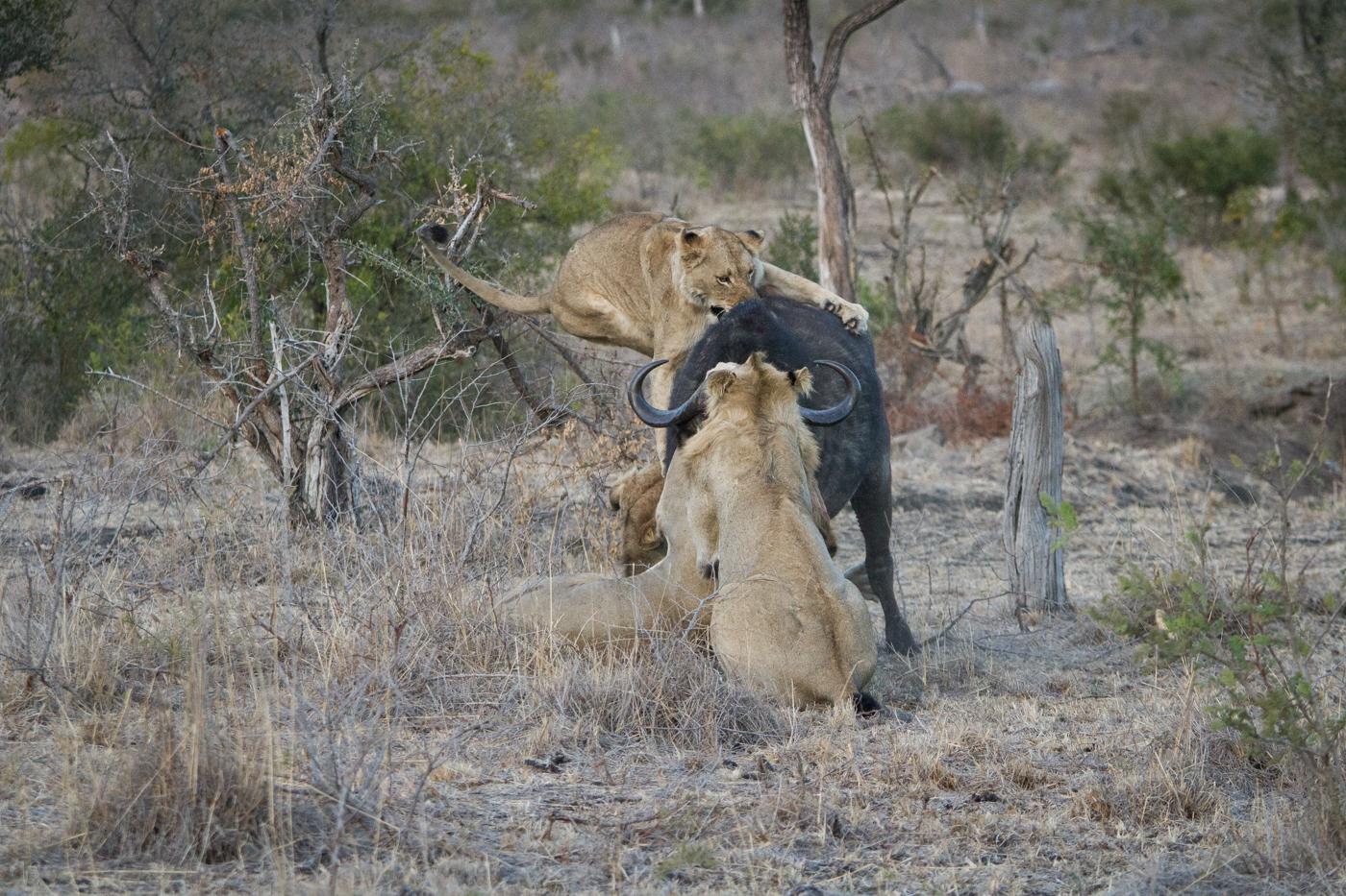 Mhangeni Buffalo 2-31