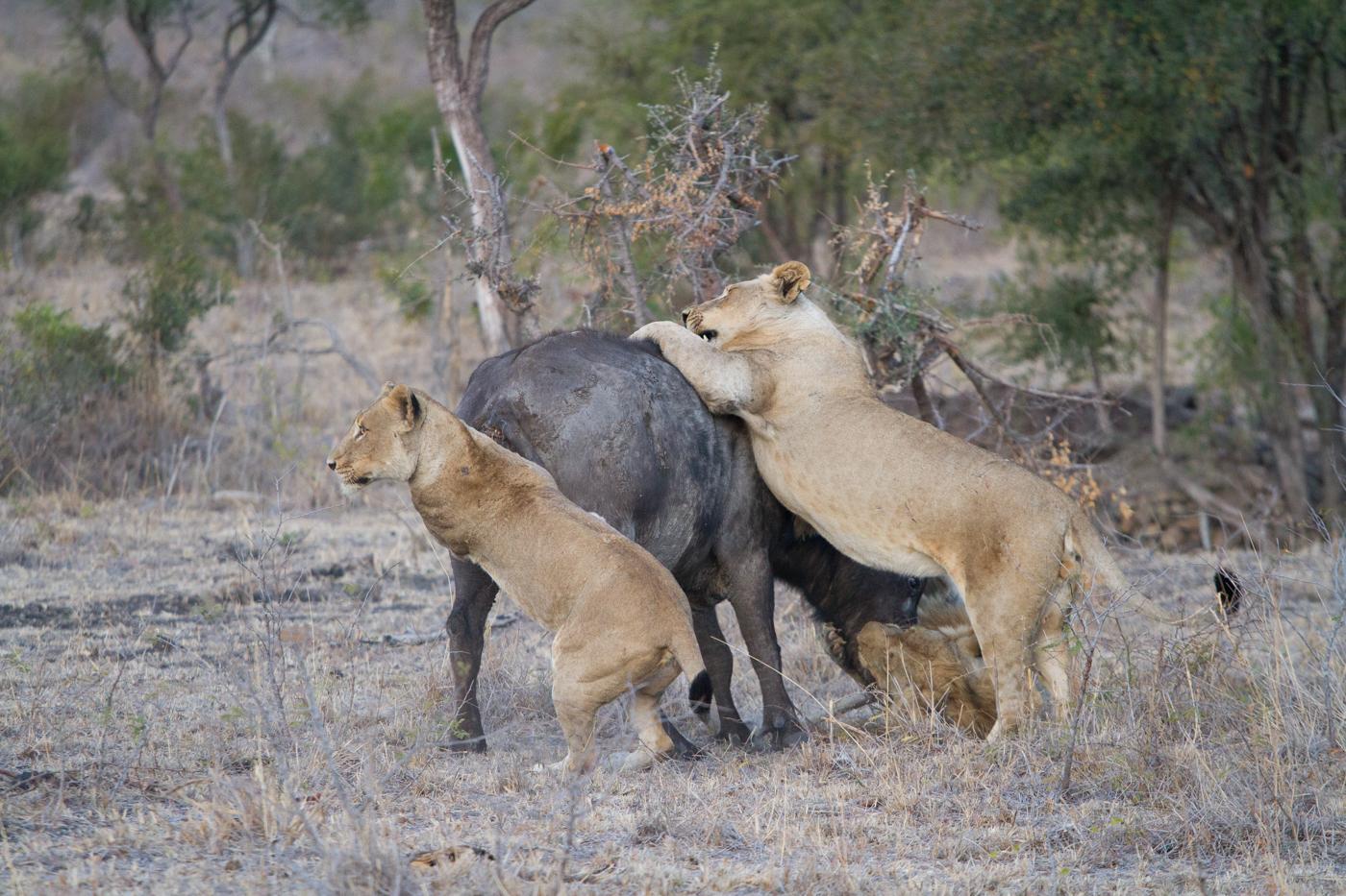 Mhangeni Buffalo 2-10