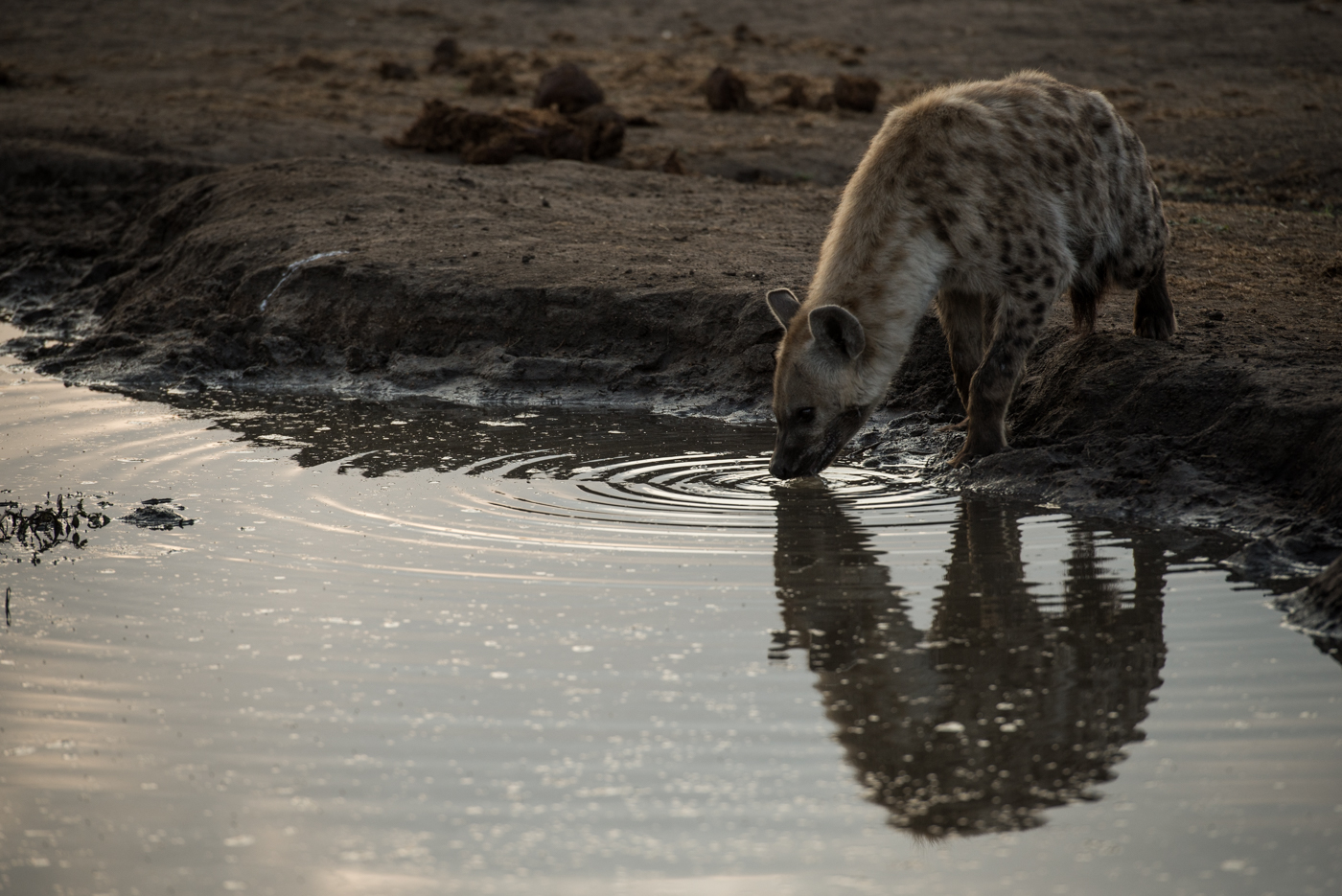 hyena, SC