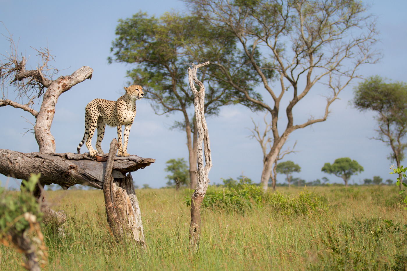 cheetah-log