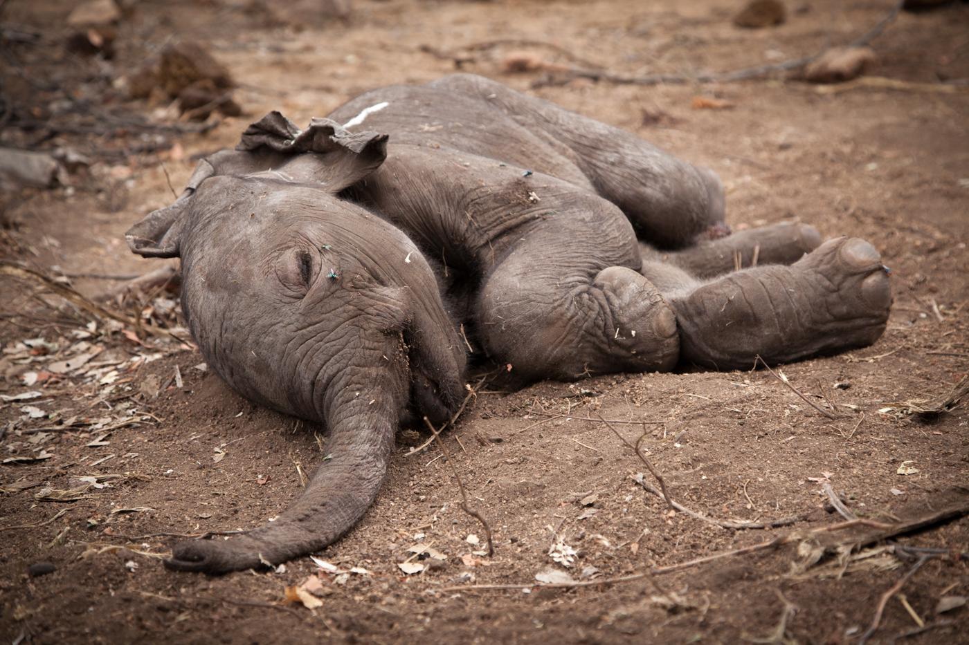 dead elephant calf