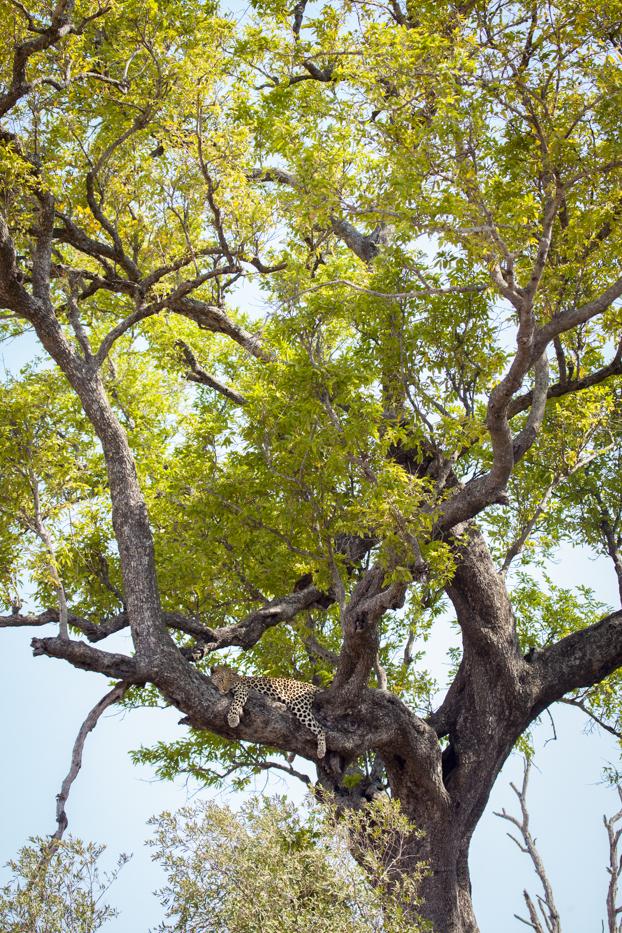 Mashaba Young female leopard