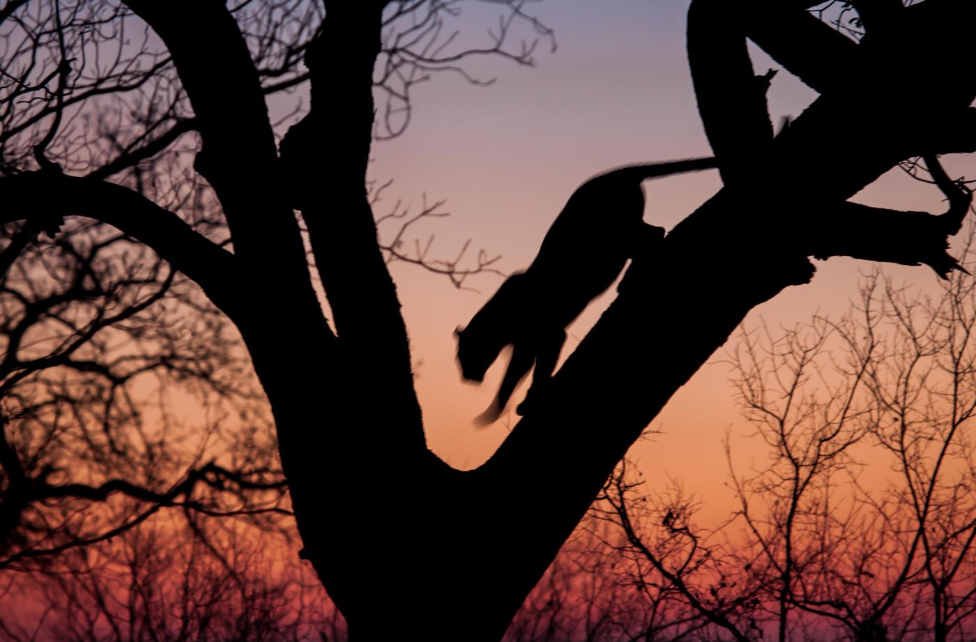 Mashaba leopard descending tree, sunset