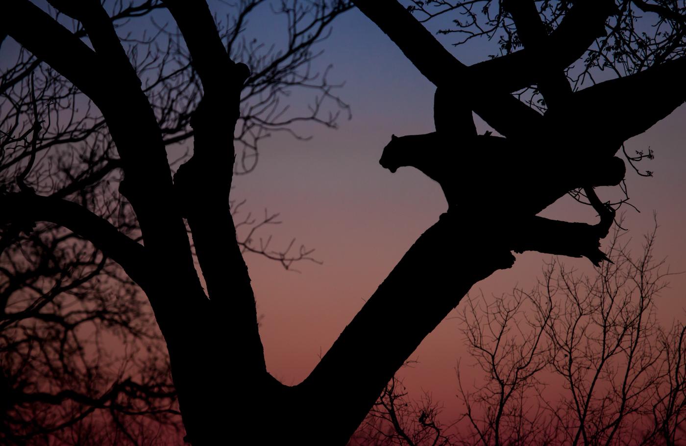 Mashaba female in tree at sunset