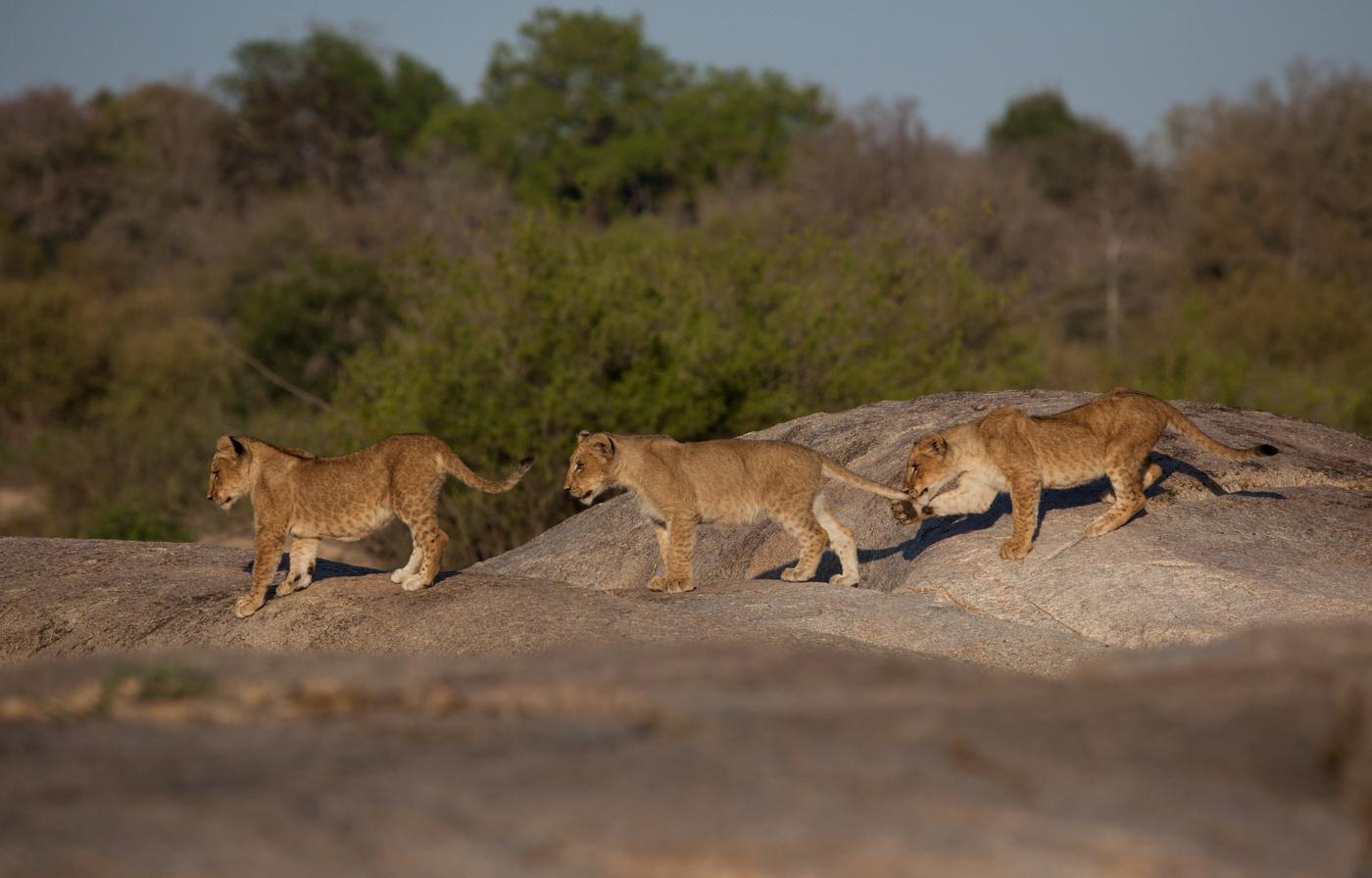 tsalala cub trio, tail pulling
