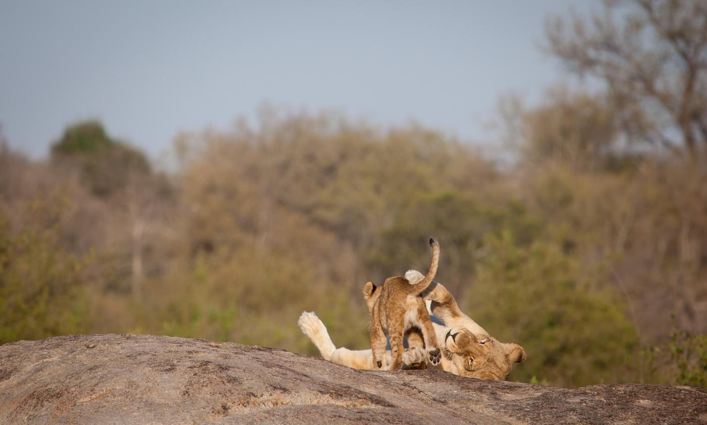 Tsalala lioness and cub, rocks