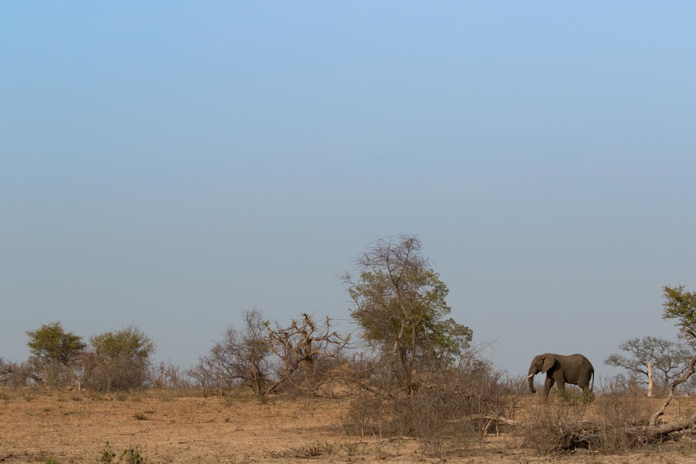 elephant bull, drought