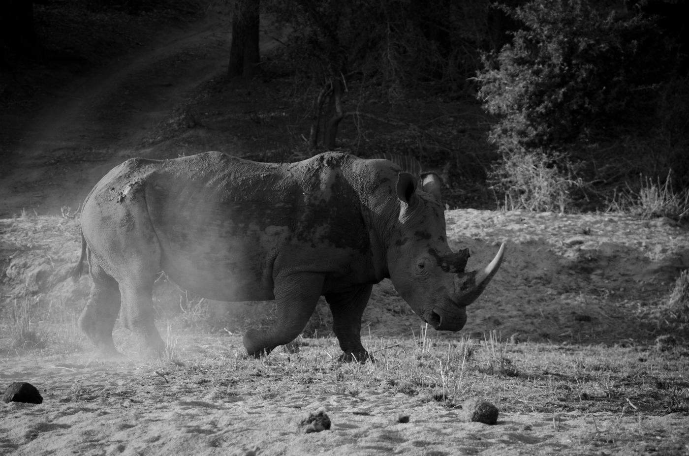 rhino-bull-bw-kp