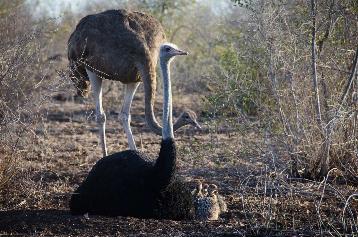 ostrich-family-kp