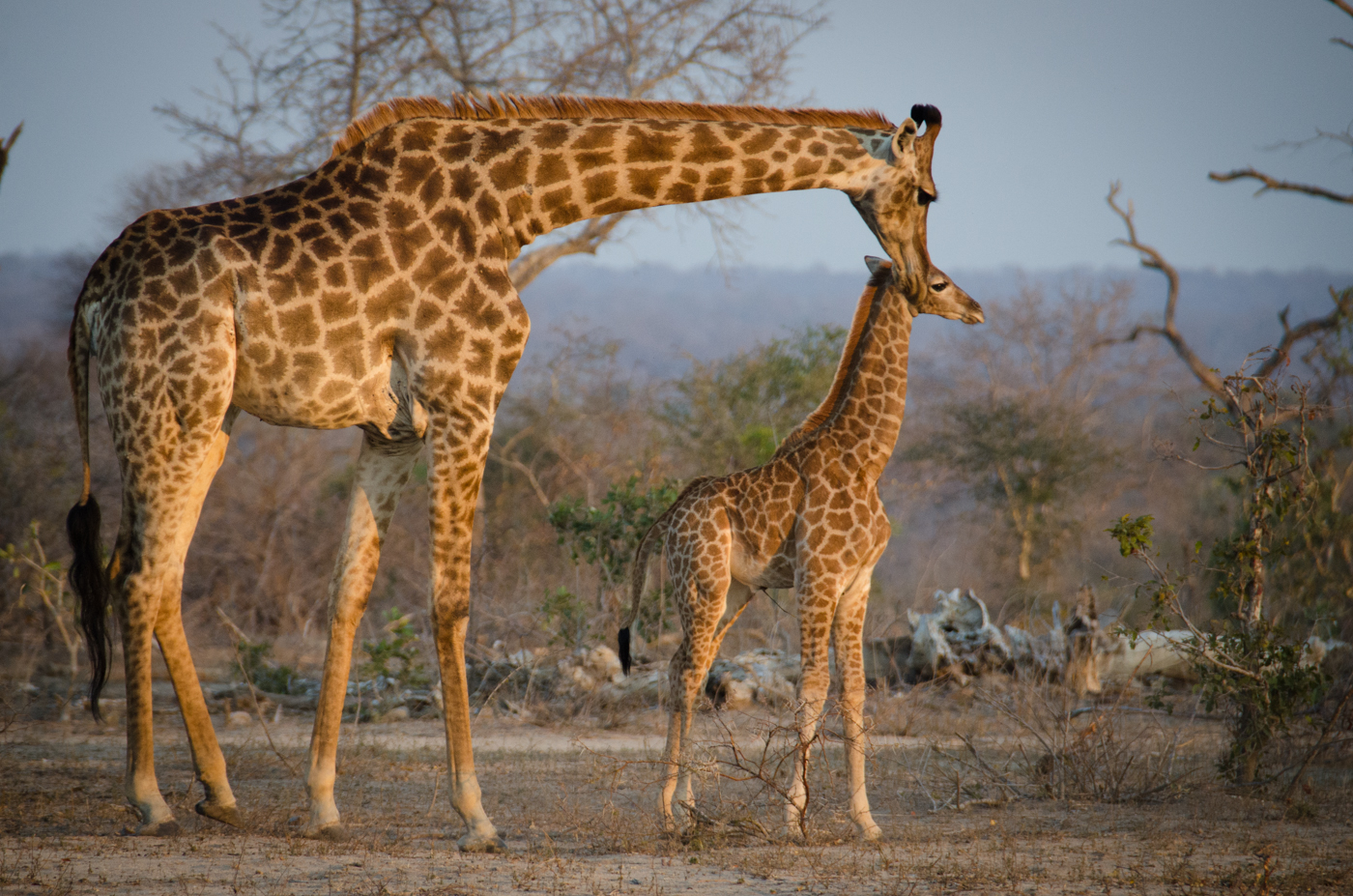 girrafe-and-calf-kp