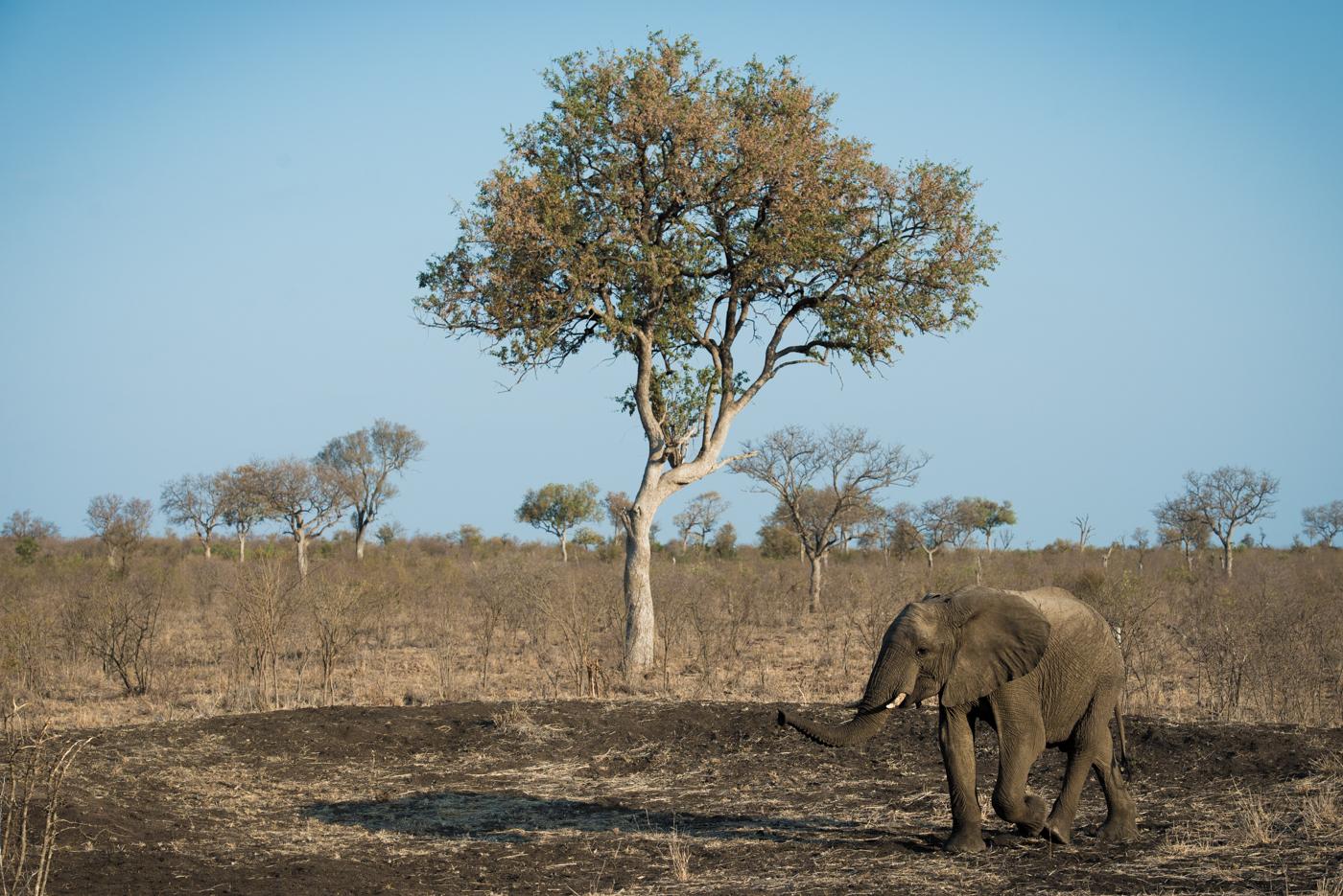 elephant, leadwood, SC