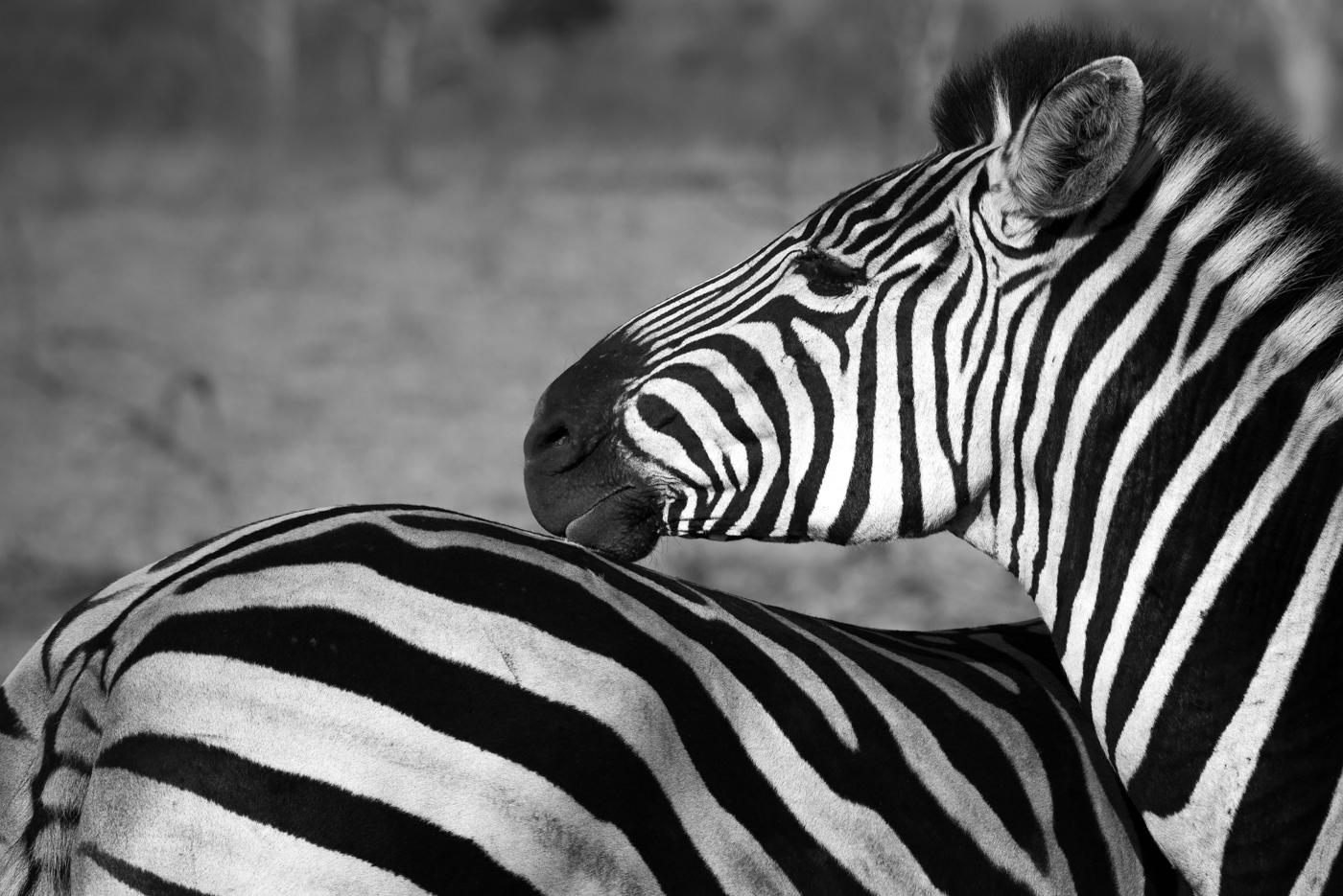 zebra, SC