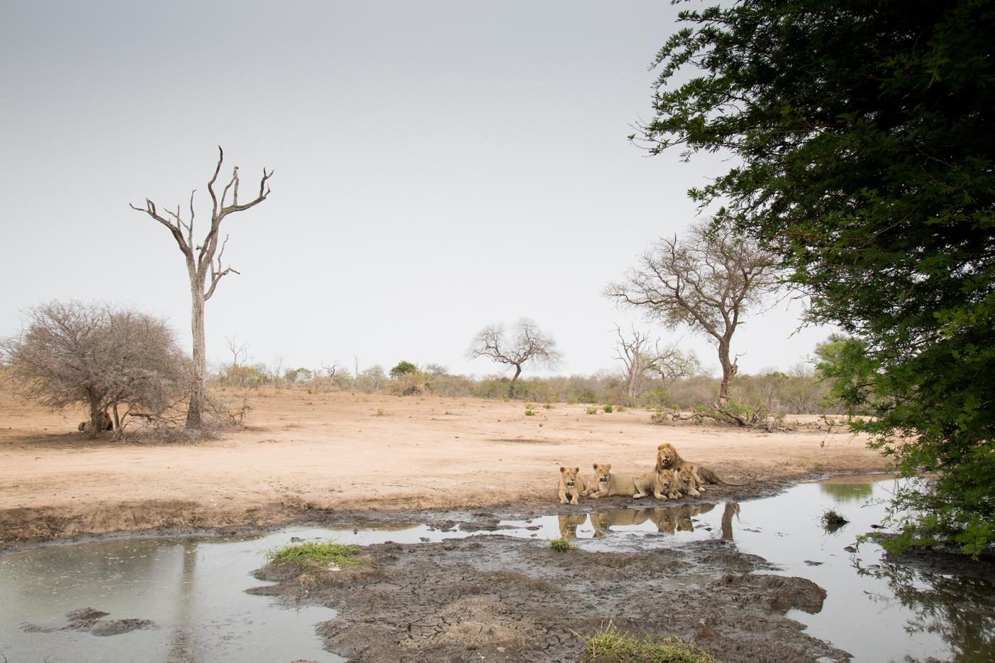 mhangeni-lions-lexs-pan