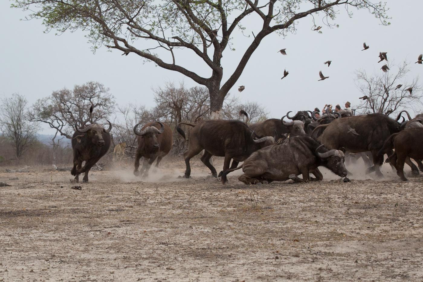 mhangeni-chase-buffalo