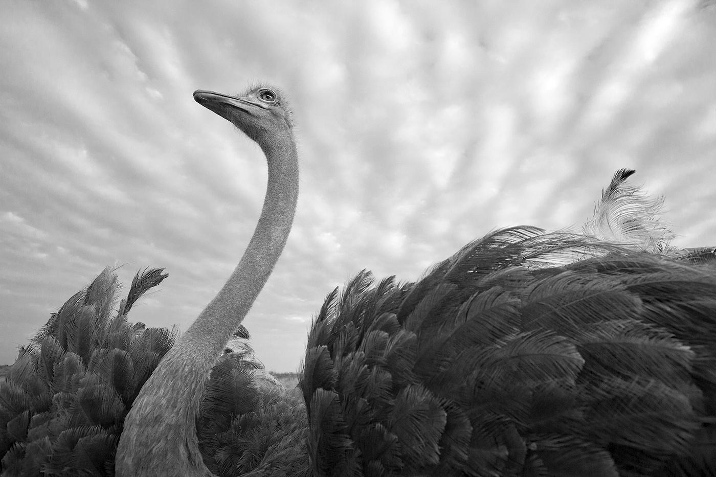 Ostrich Amy