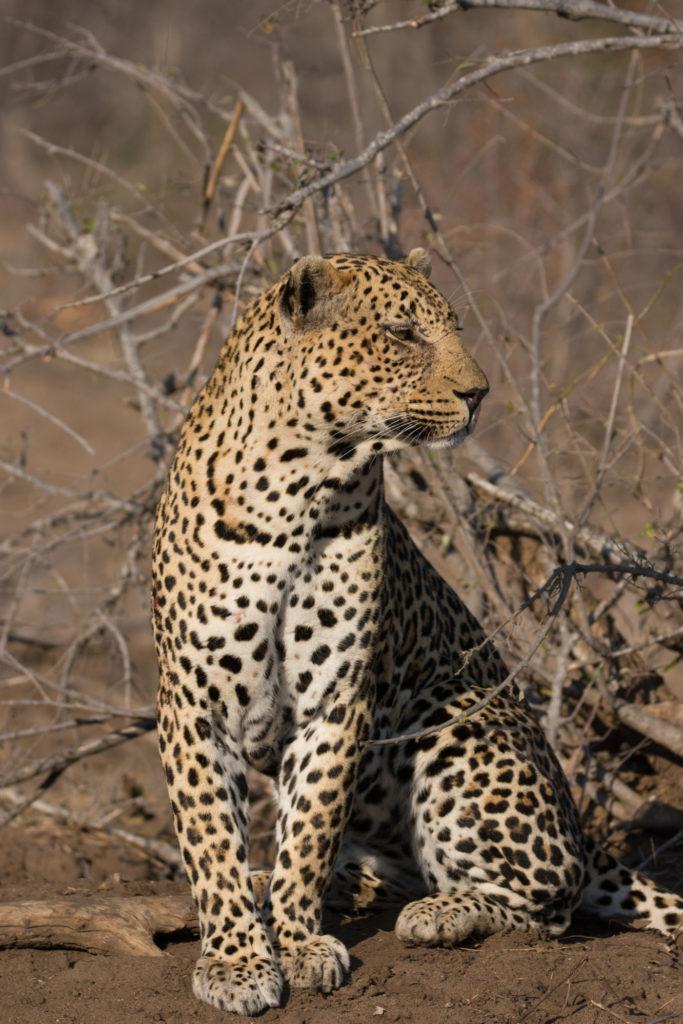 piva-male-leopard-8