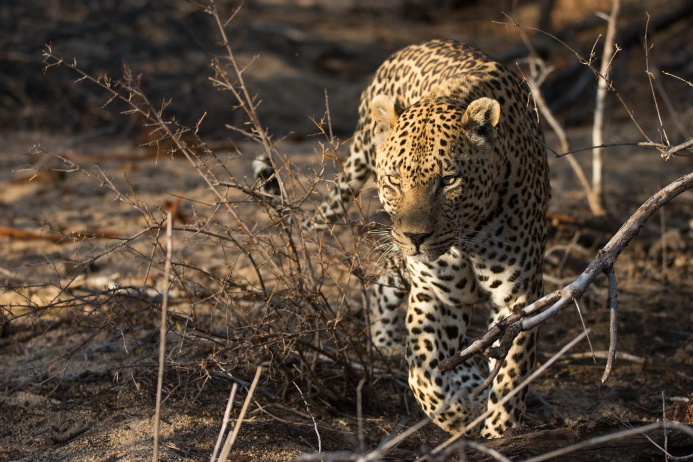 piva-male-leopard-7