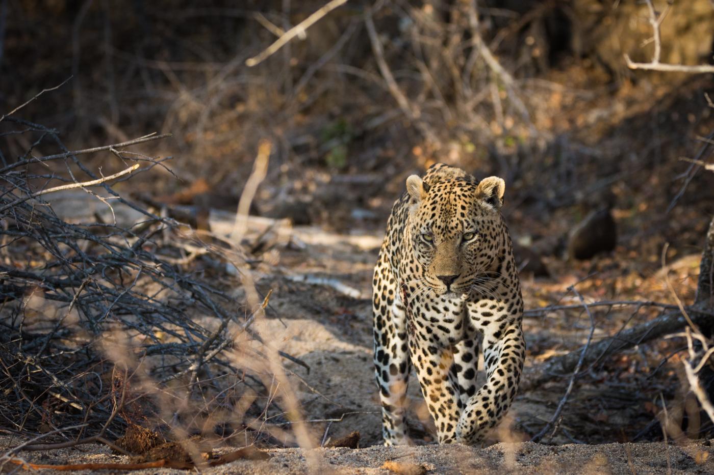 piva-male-leopard-6