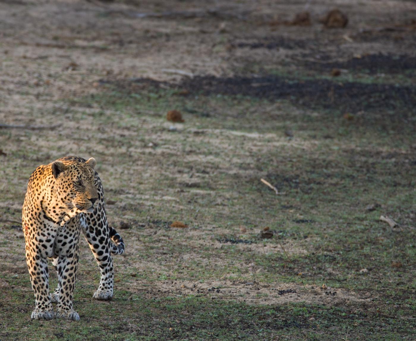 piva-male-leopard-5