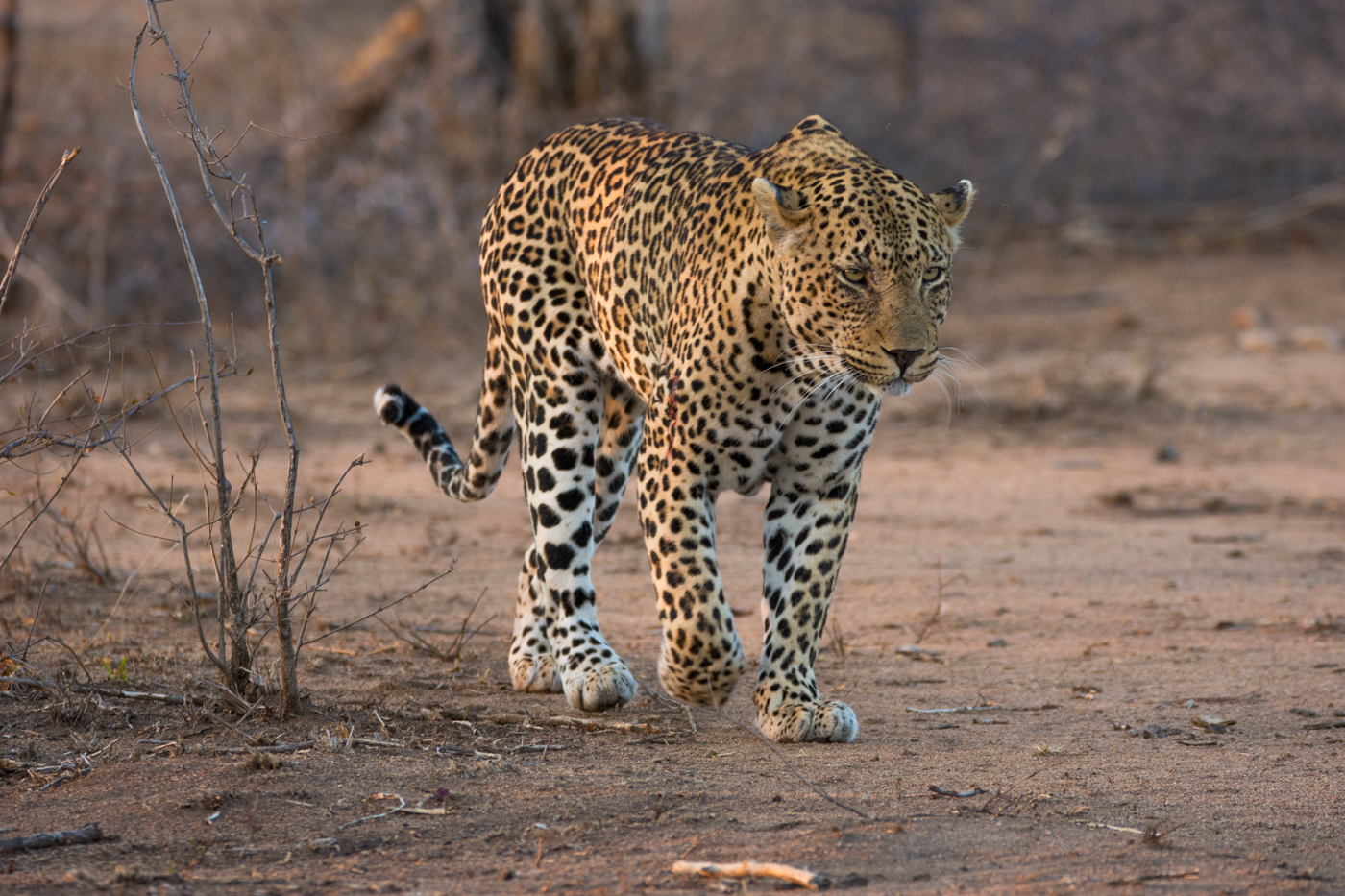 piva-male-leopard-4