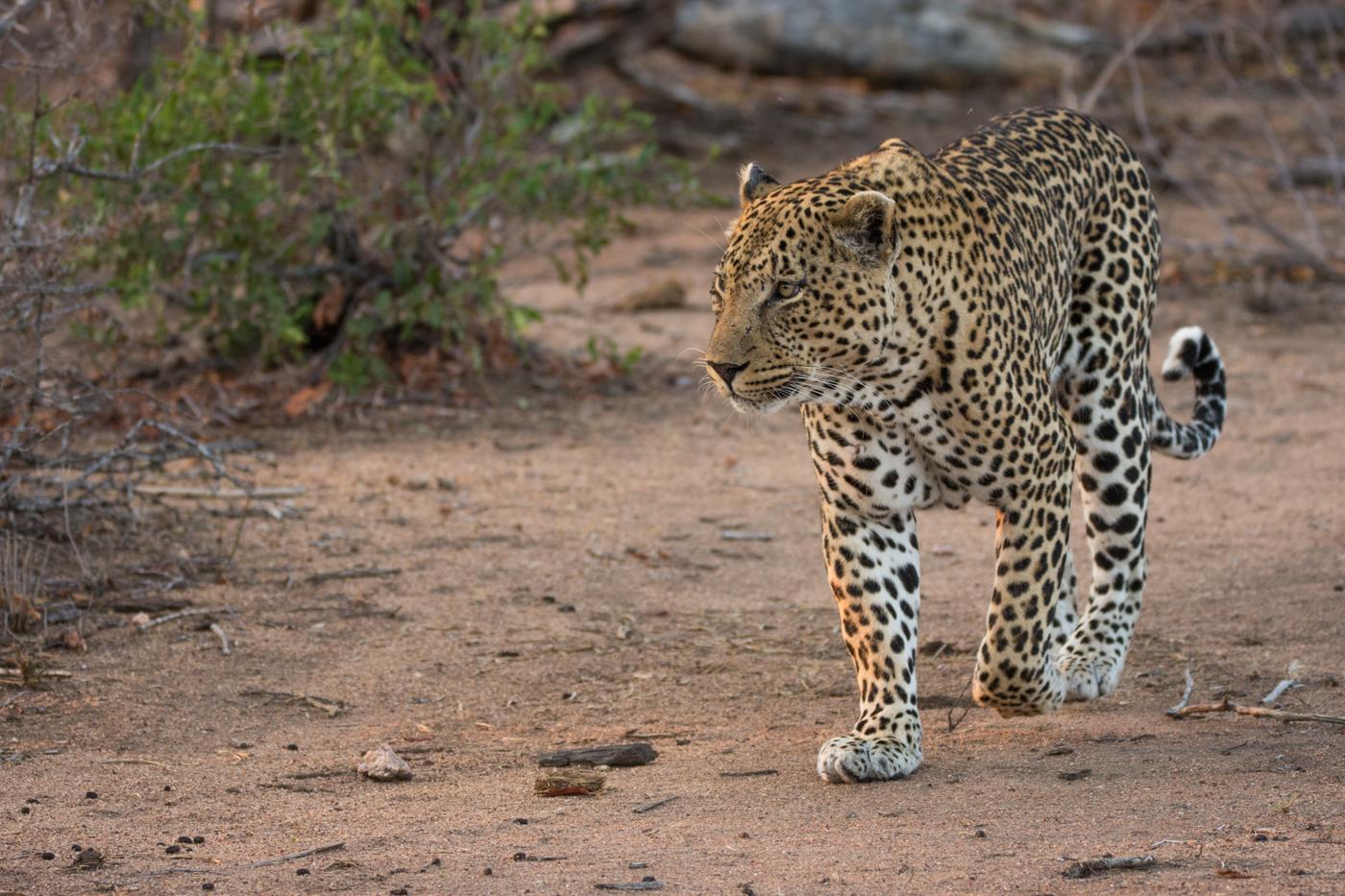 piva-male-leopard-3