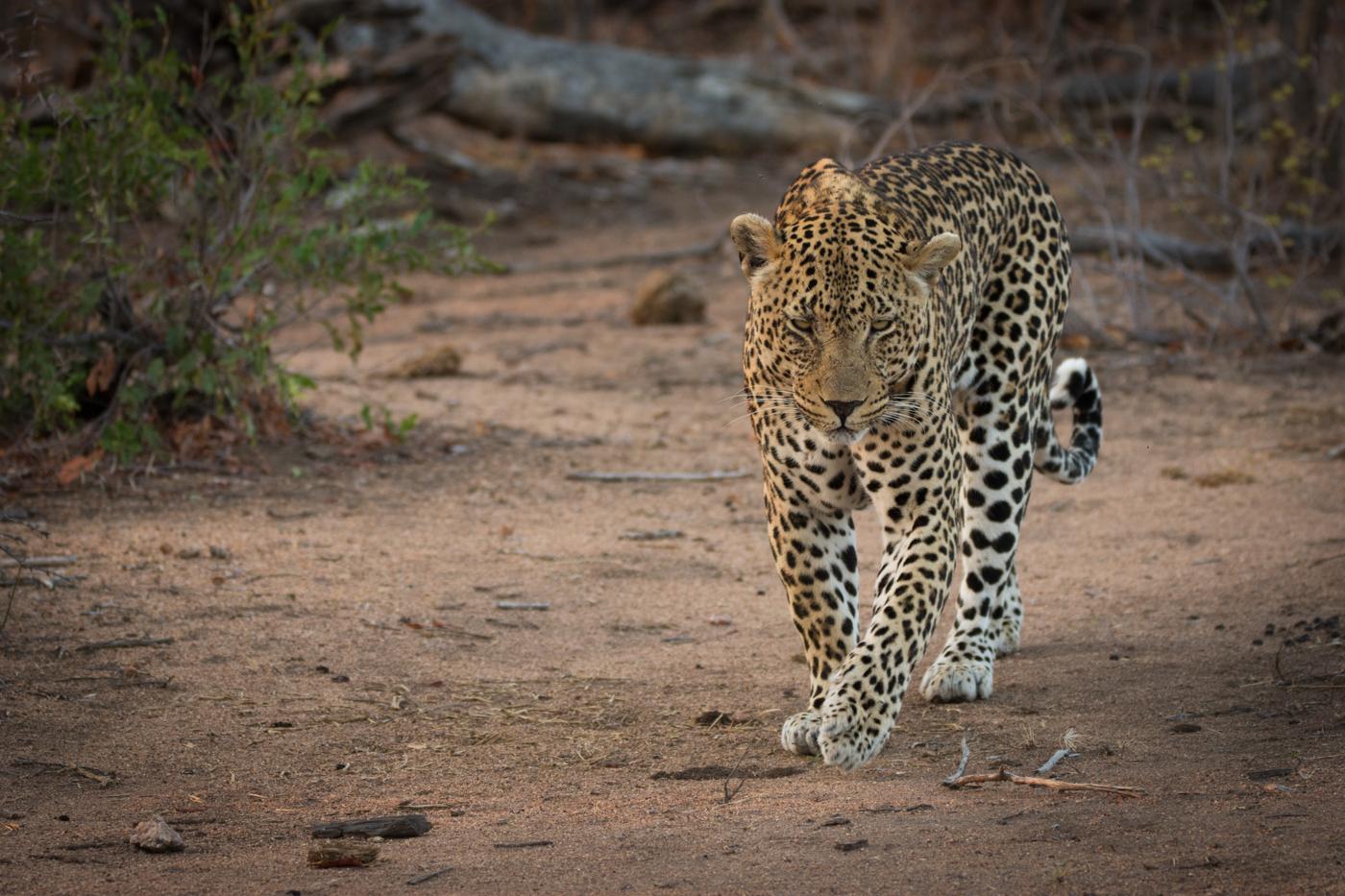 piva-male-leopard-2