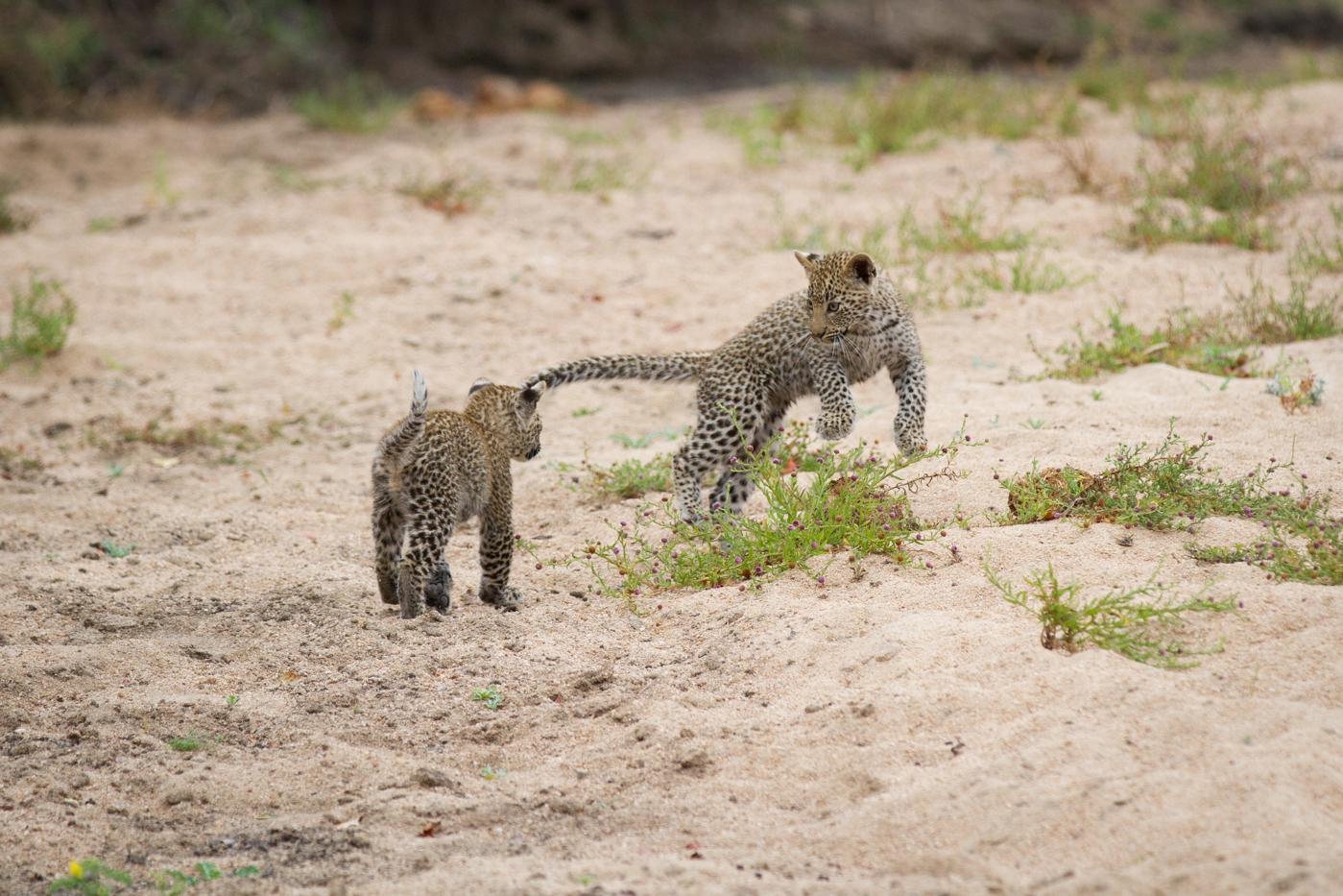 nanga-cubs