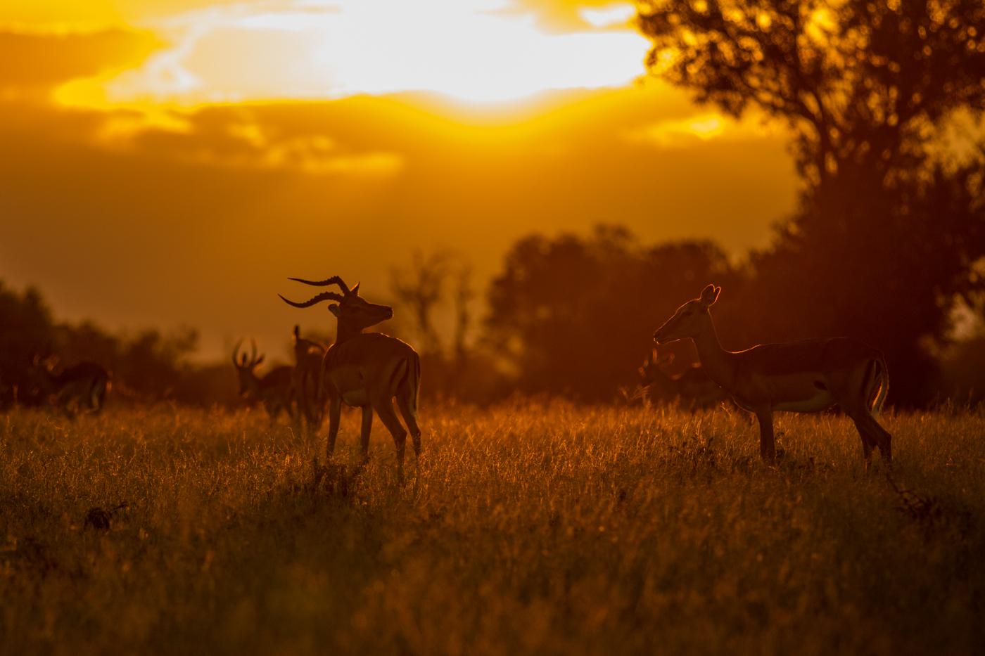 impala-sunset