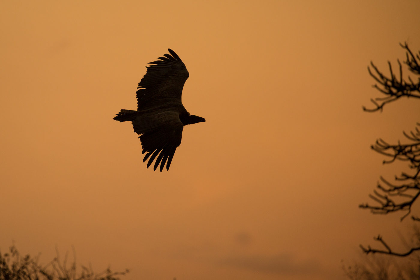 vulture-silhouette