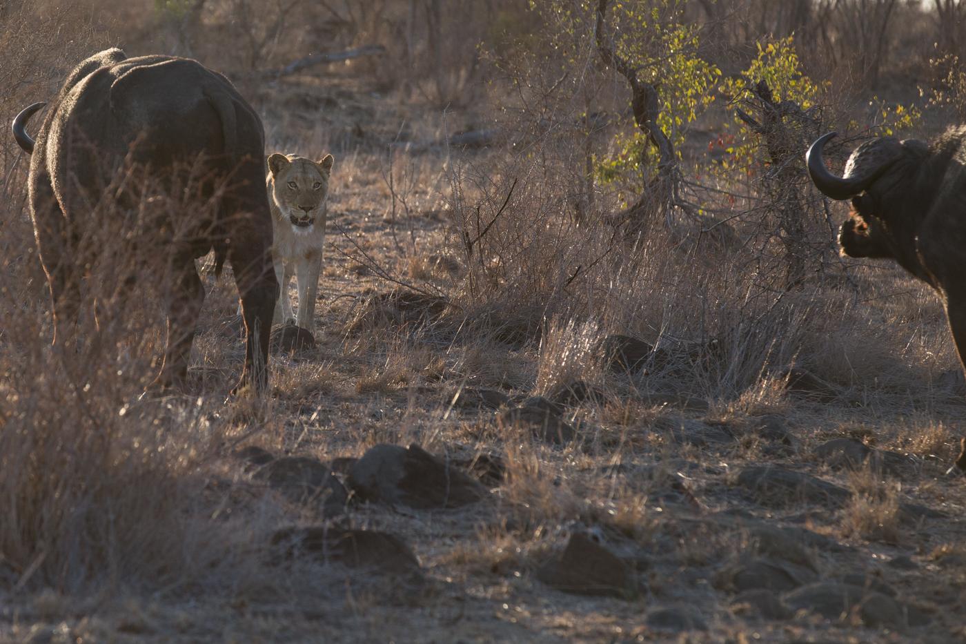 lion-buffalo-standoff