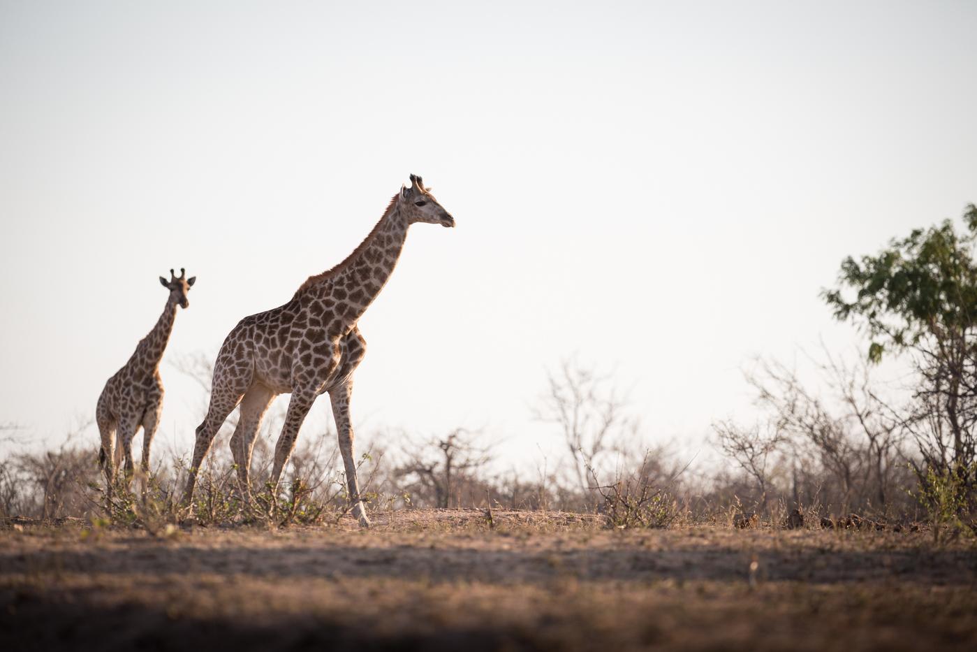 giraffe-low
