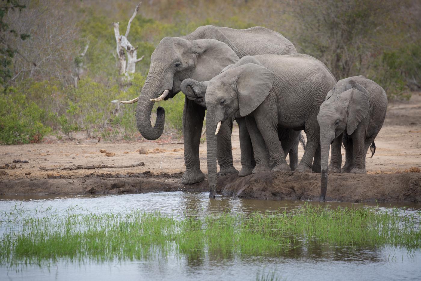 elephant-drink