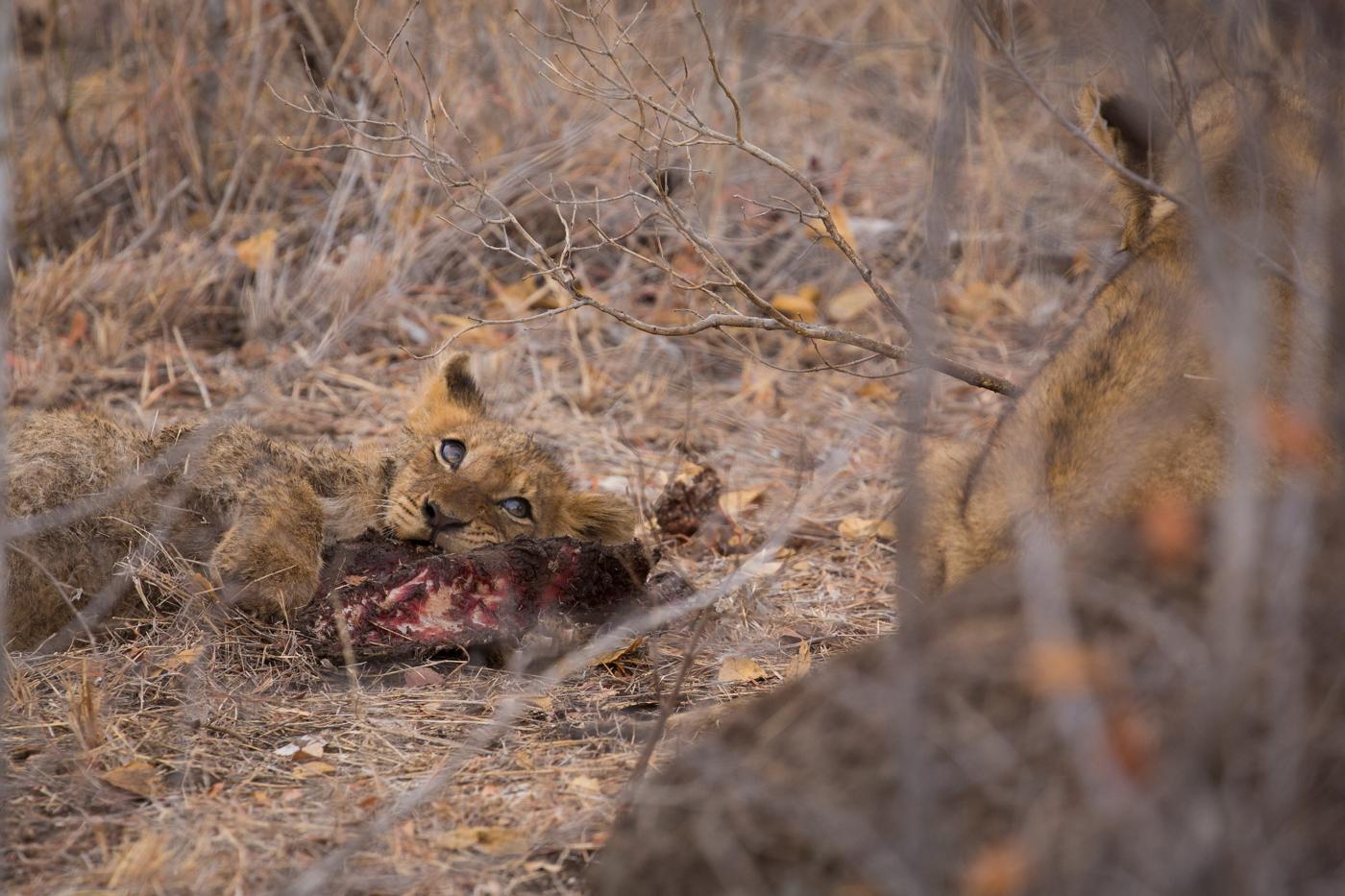 cub-watch