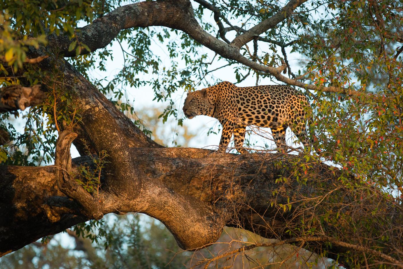 44-leopard