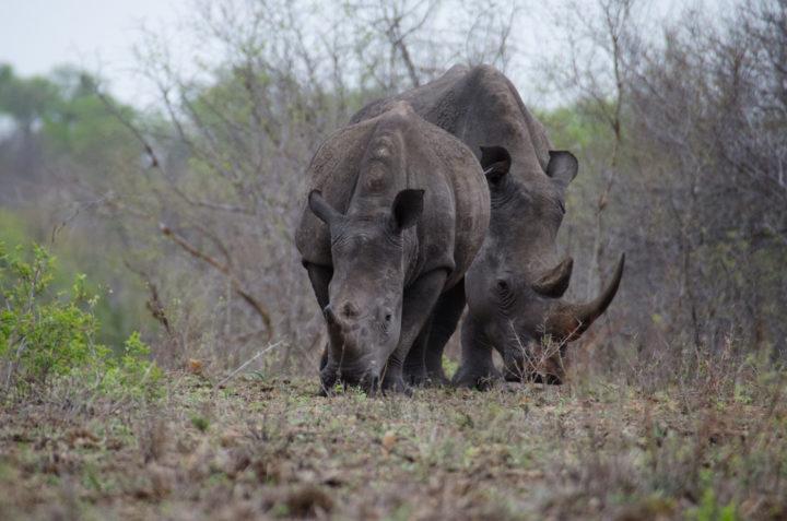 Londolozi Game Reserve, Kruger National Park, walking, rhino