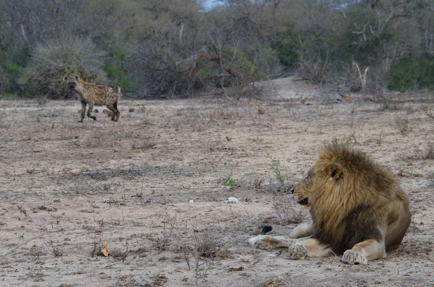 matimba-and-hyena-kp