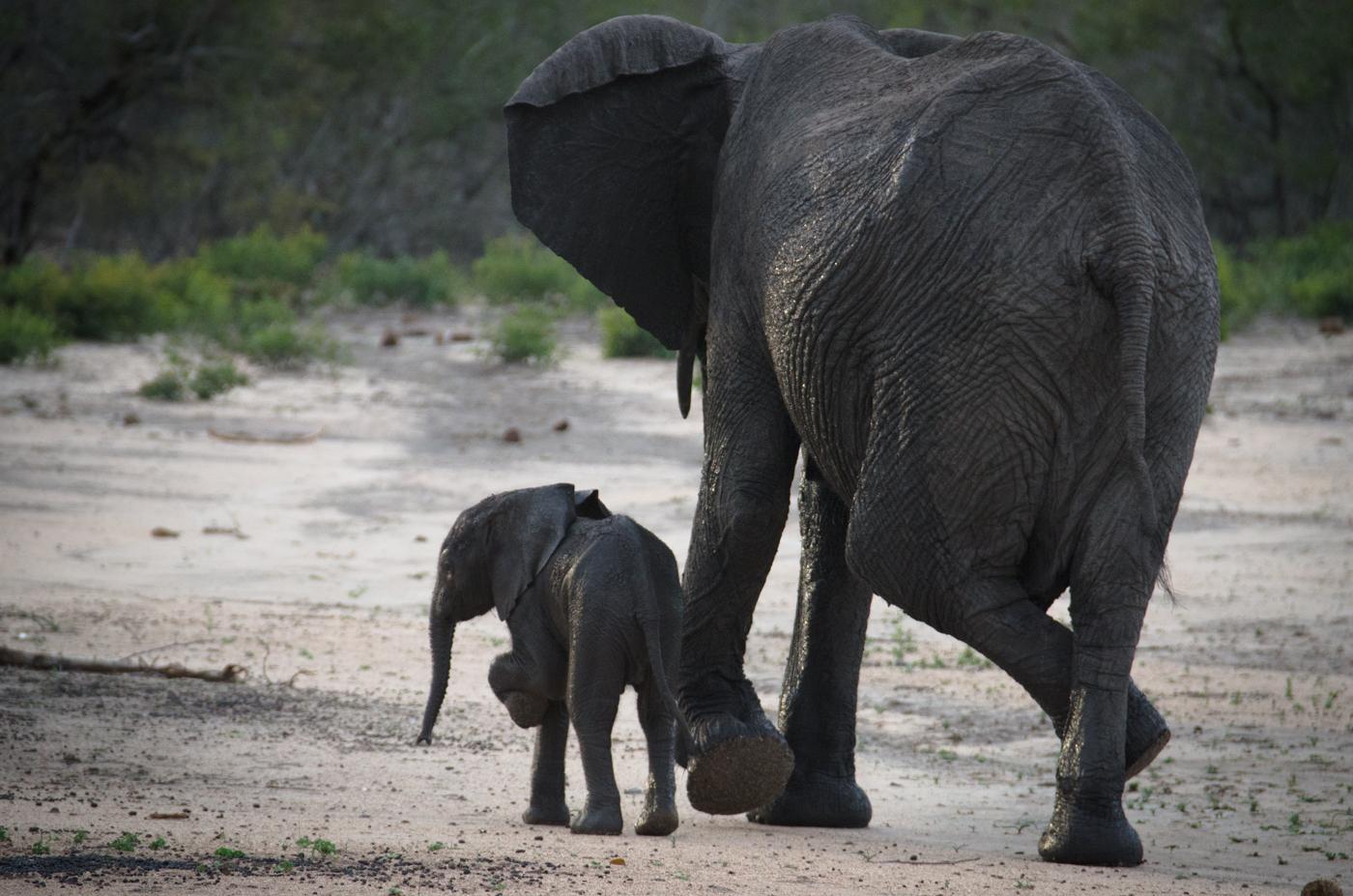 elephants-scratching-kp