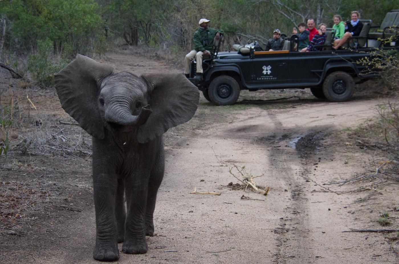 elephant-calf-charge-kp
