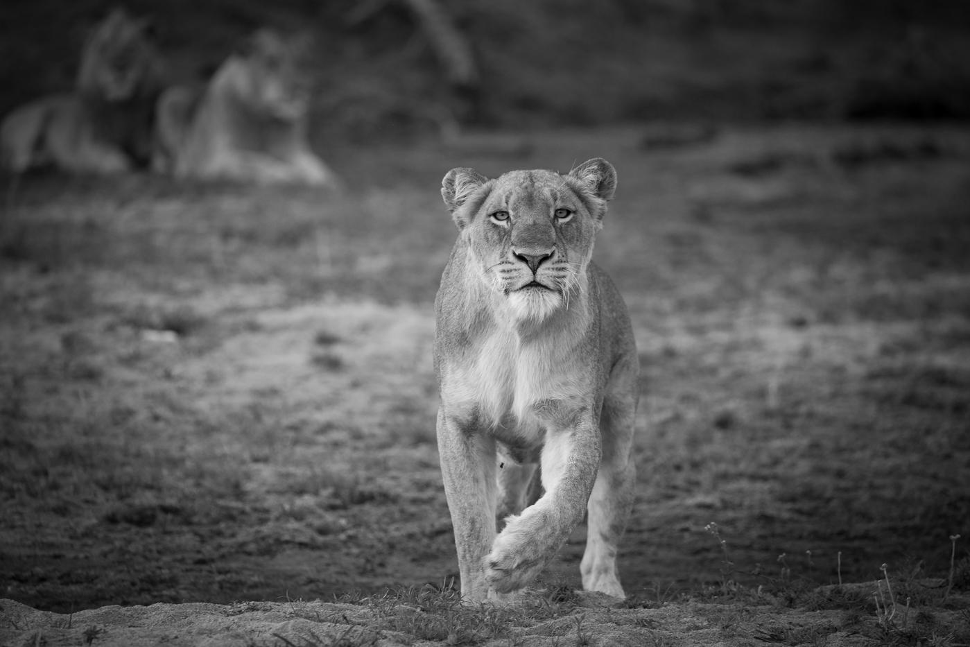 lioness-stalk
