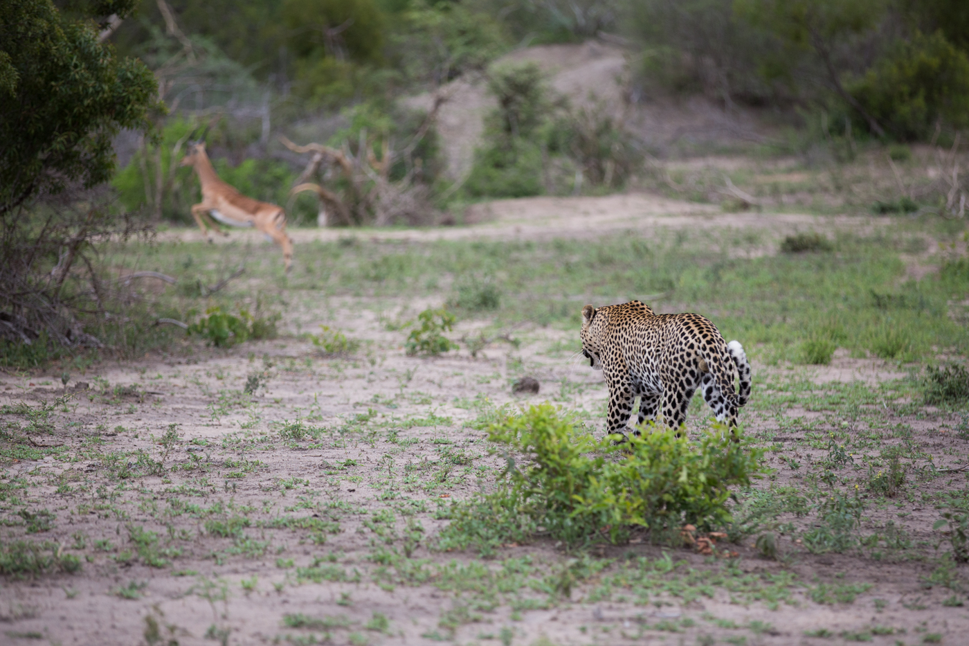 flat-rock-impala