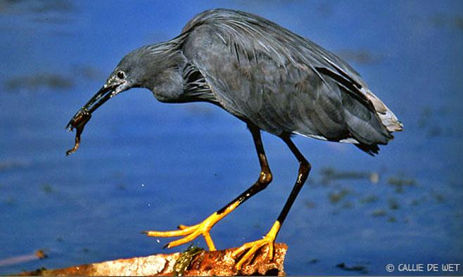 black-heron-2