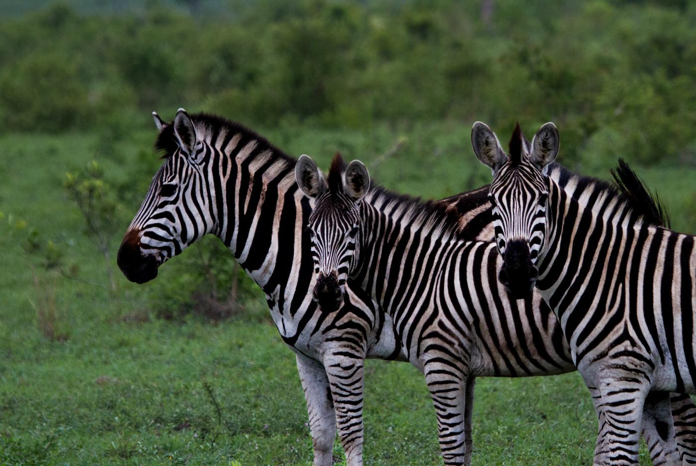 zebra-twip-6477