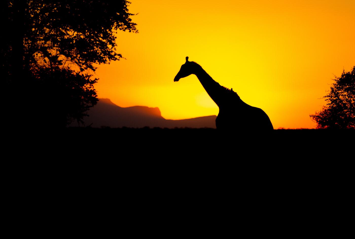 giraffe-sunset-1931
