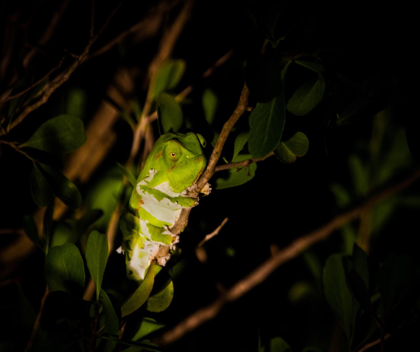 Where Did All The Chameleons Go?