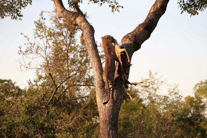 Londolozi, Kruger national Park, leopard with kill