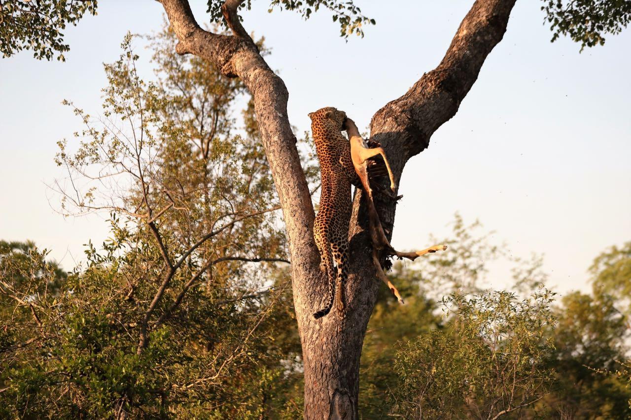 Anderson male hoists impala. Photo Ted Swindon